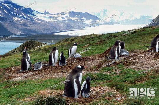 Colony of Gentoo Penguins on nests w/chicks on tundra Antarctica Summer