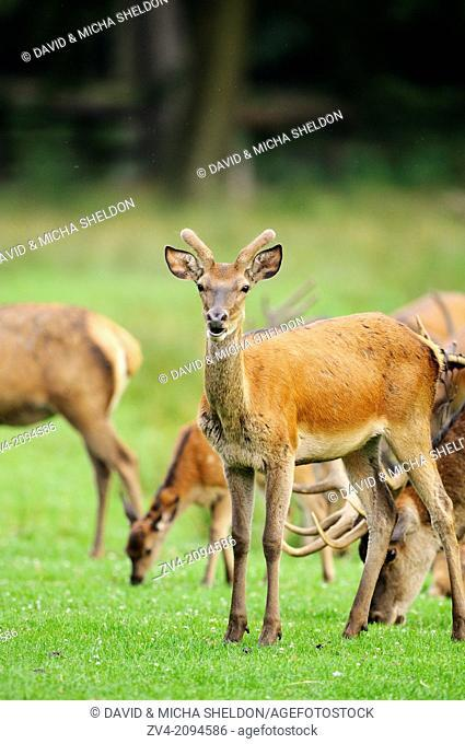 Close-up of a red deer (Cervus elaphus) male on a meadow