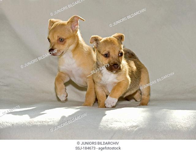 Chihuahua-Mix. Two puppies (8 weeks old) walking on a blanket