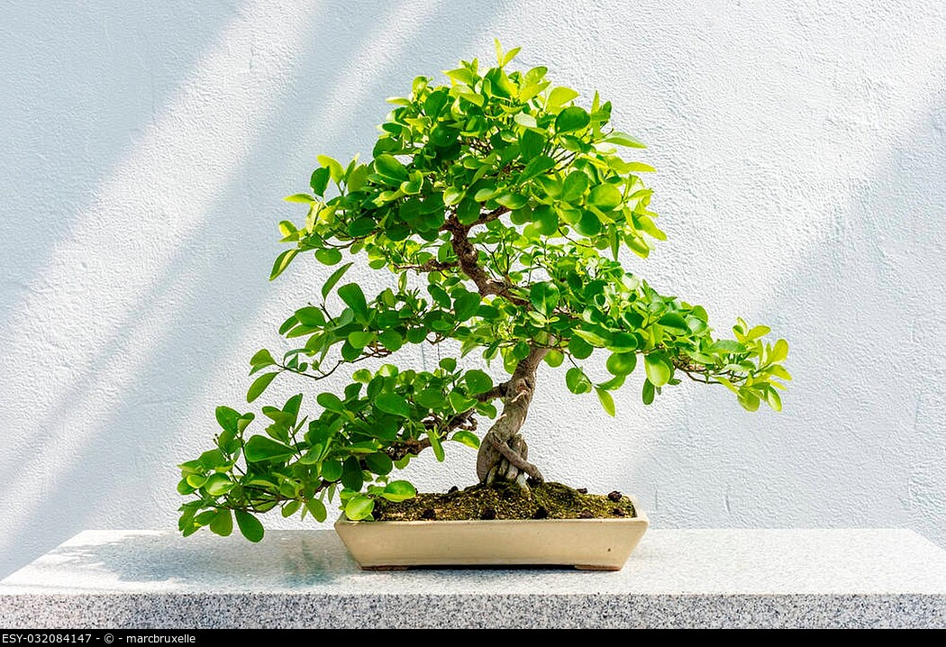 Euonymus fortunei Bonsai (Wintercreeper euonymus) - 40 years old tree.