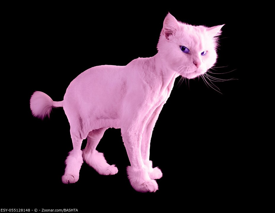 Pink funny groomed cat with a short haircut and wiht tassel tail isolated on a black background. Copy space.