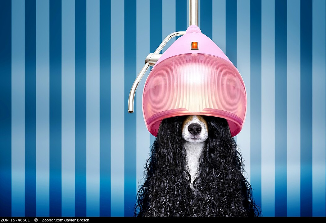 jack russell dog at the hairdressers with long curly hair wig , in beauty salon