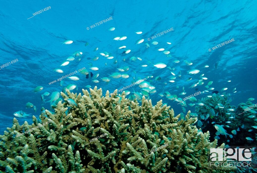 Imagen: Coral Fishes over Coral Reef, Chromis viridis, Indian Ocean, Maldives.