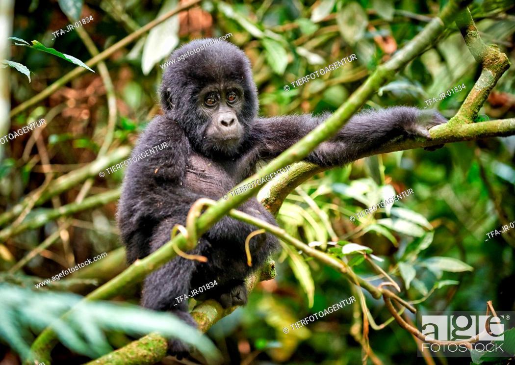 Stock Photo: mountain gorilla.