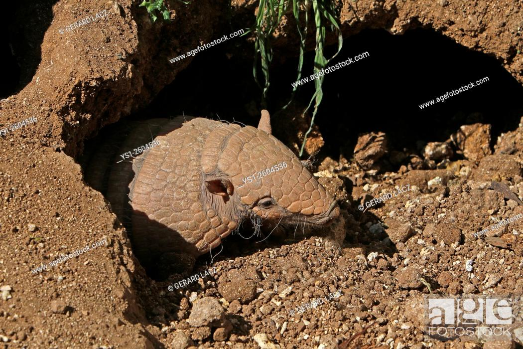 Stock Photo: Yellow or Six-banded Armadillo, euphractus sexcinctus, Adult standing at Den Entrance, South America.