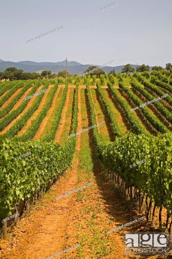 Imagen: europe, italy, tuscany, scansano, wineyards.