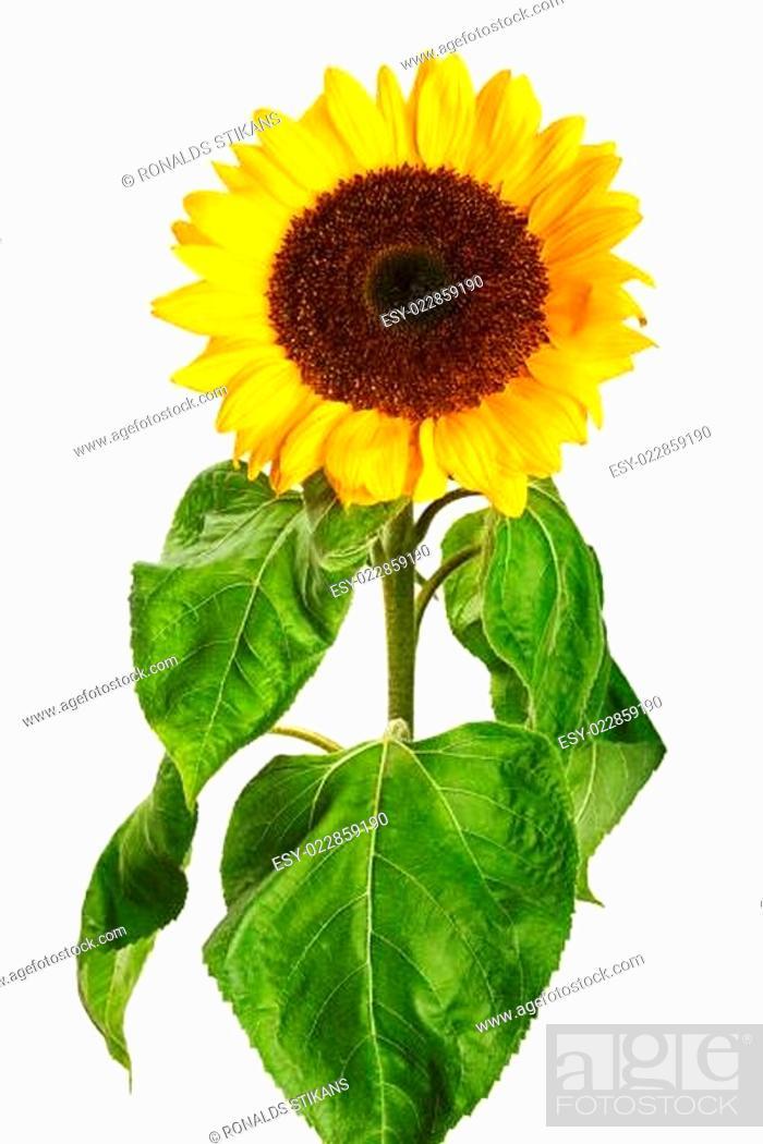 Stock Photo: sunflower isolated on white background.
