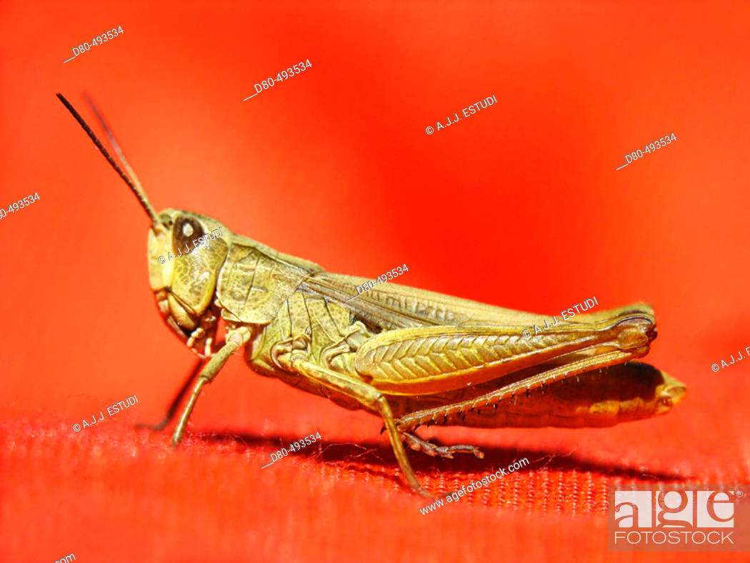 Stock Photo: Grasshopper.