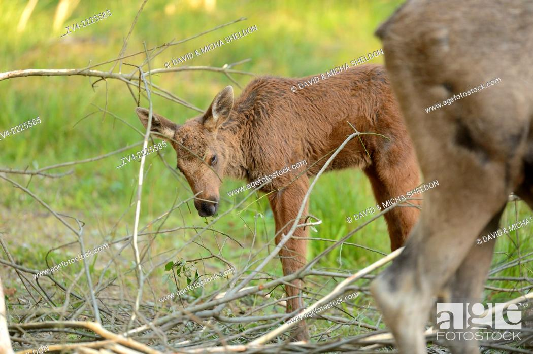 Stock Photo: Eurasian elk (Alces alces) mother with her youngster in a forest in early summer.