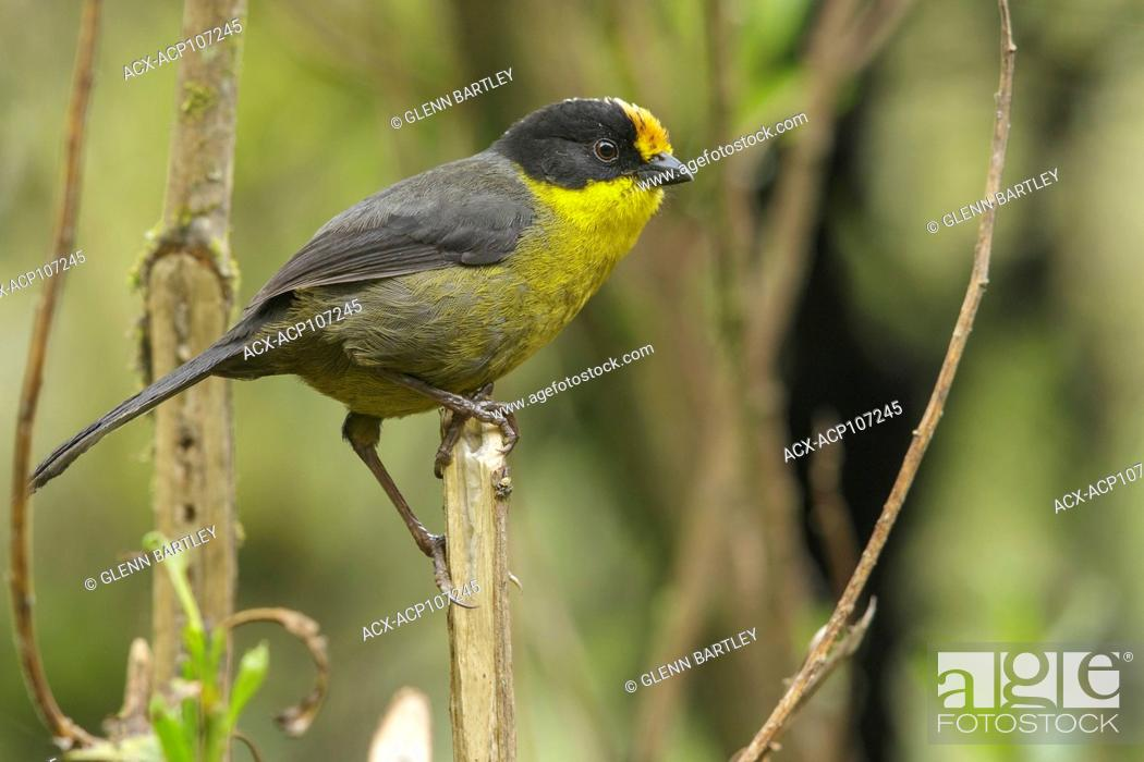 Imagen: Pale-naped Brush Finch (Atlapetes pallidinucha) perched on a branch in the mountains of Colombia, South America.