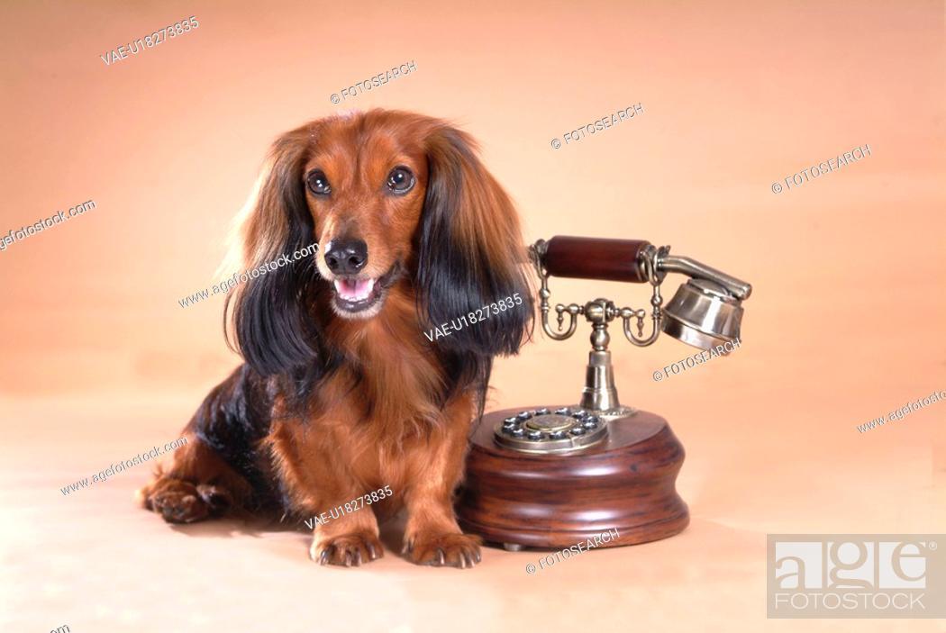 Stock Photo: classical telephone, animal, telephone, dachshund, dog, antique telephone, pet.