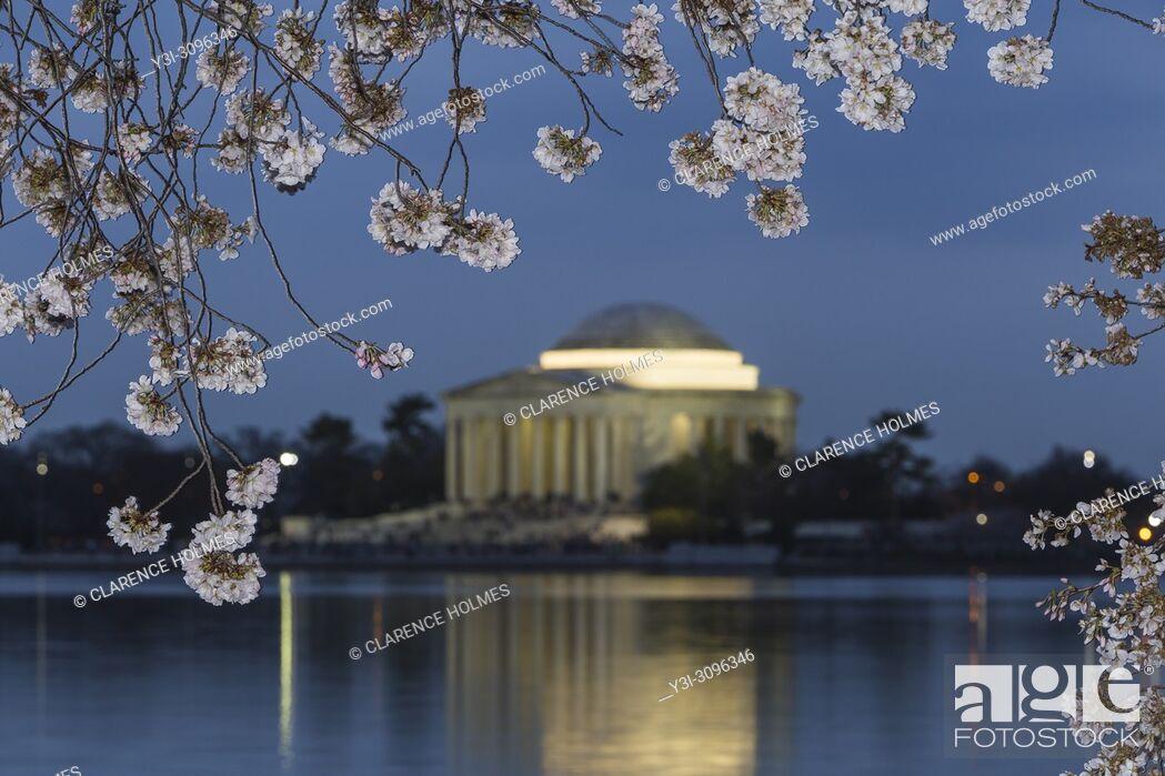 Imagen: Yoshino cherry tree blossoms frame the Jefferson Memorial on the Tidal Basin at twilight in Washington, DC.
