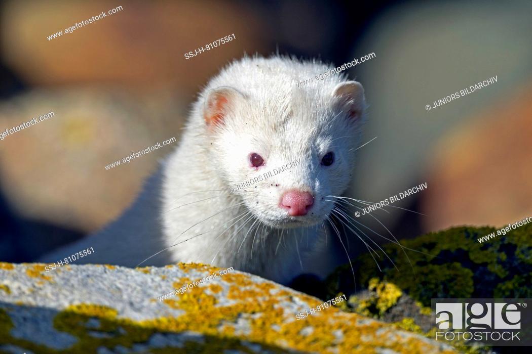Stock Photo: American Mink (Mustela vison, Neovison vison). Portrait of adult albino. Danmark.