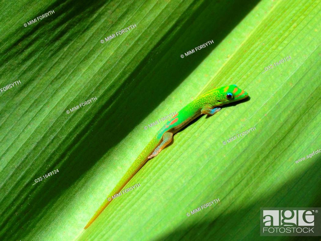 Stock Photo: Gold Dust Day Gecko (Phelsuma laticauda laticauda) on leaf, Hawai'i, USA.