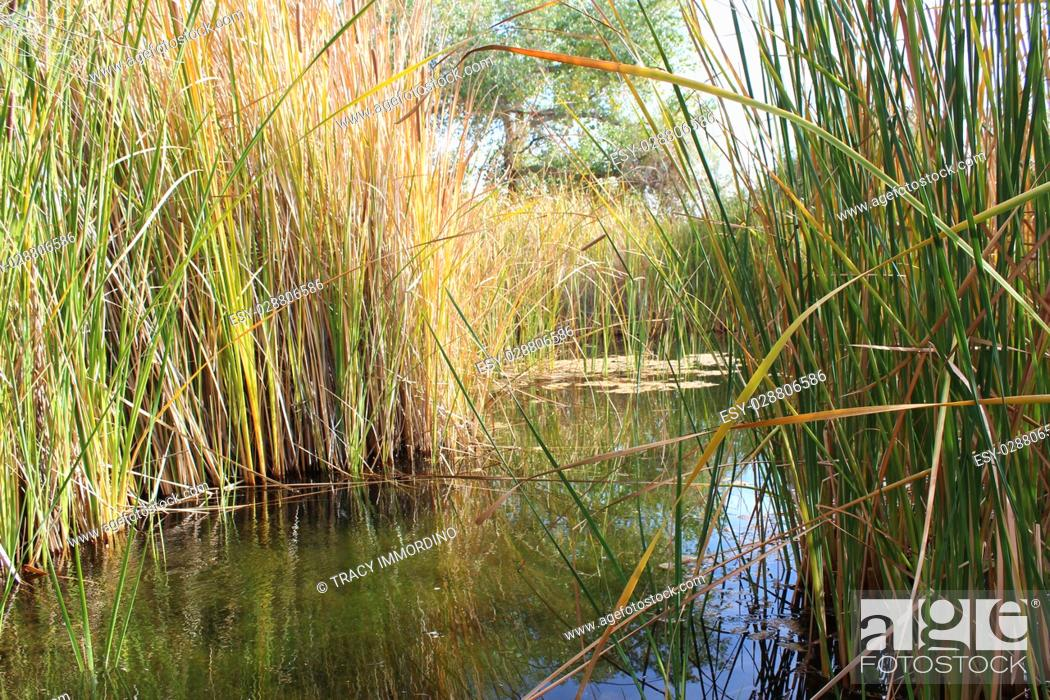 Stock Photo: Peeking through cattails at a desert wetlands oasis with cattails surrounding and reflecting in the water in Arizona, USA.