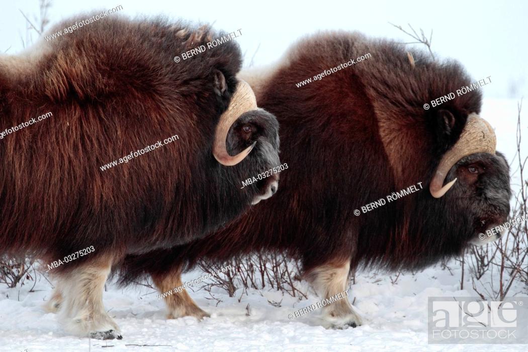 Photo de stock: North America, the USA, Alaska, North Alaska, North Slope, musk ox, Ovibos moschatus,.