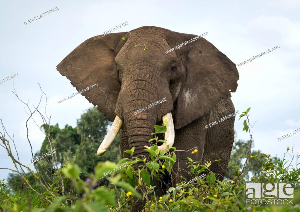 Stock Photo: Tanzania, Arusha Region, Ngorongoro Conservation Area, african elephant (loxodonta africana).