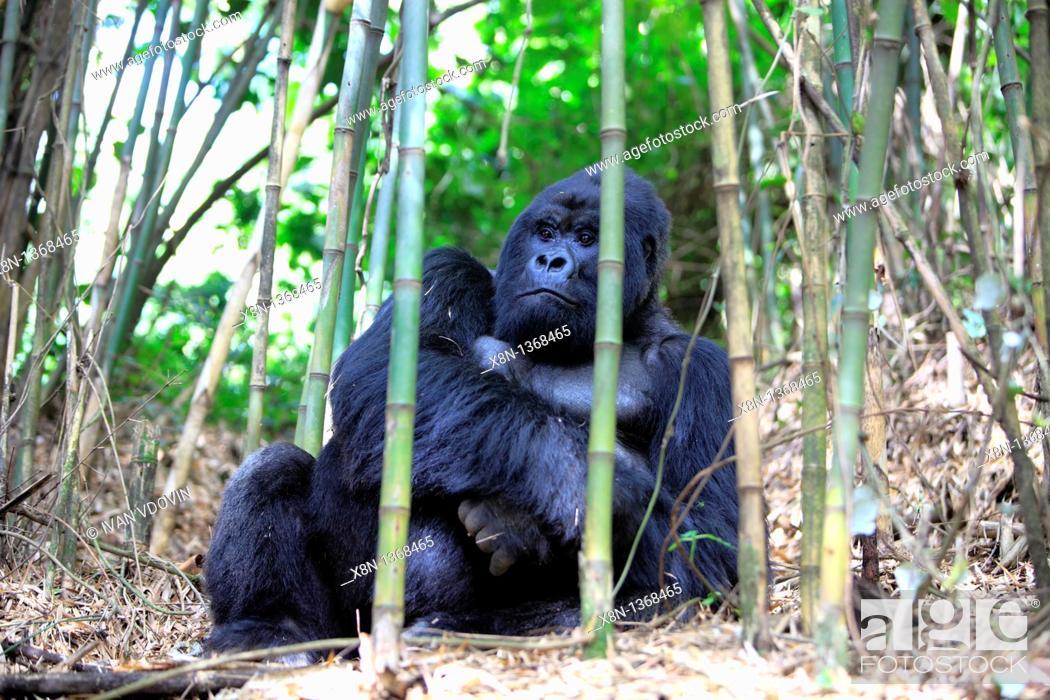 Stock Photo: Mountain Gorilla Gorilla beringei beringei, Parc National de Volcans, Rwanda.