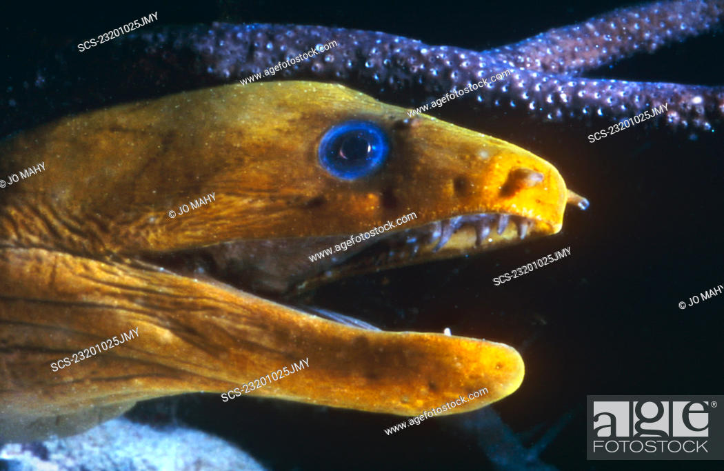 head of yellow golden moray eel with mouth open at night bonaire