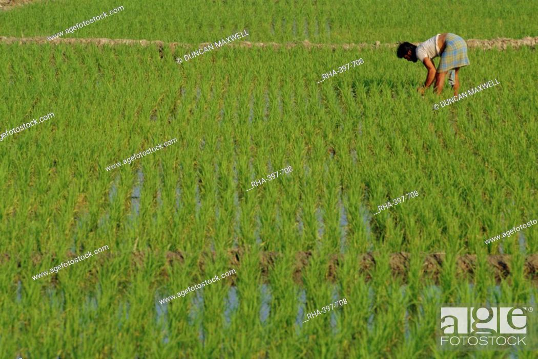 Stock Photo: Share-cropper tending rice in paddyfield, Parganas District, West Bengal State, India, Asia.