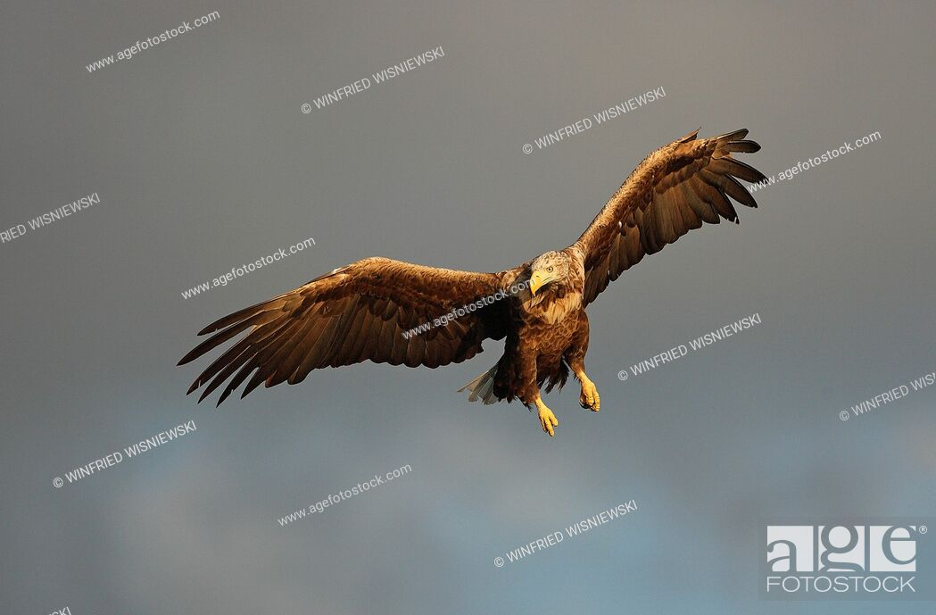 Stock Photo: White-tailed sea-eagle (Haliaetus albicilla) in flight | Seeadler (Haliaetus albicilla) im Fluge, norwegische Kueste, Norwegen.