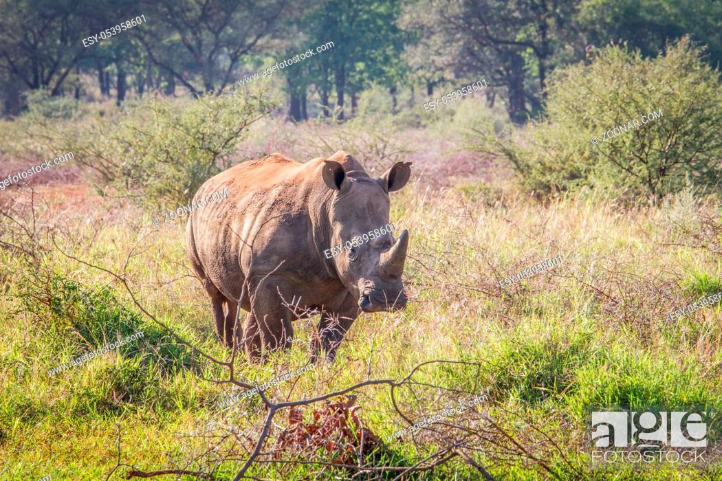 Stock Photo: White rhino standing in the grass and looking at the camera, South Africa.