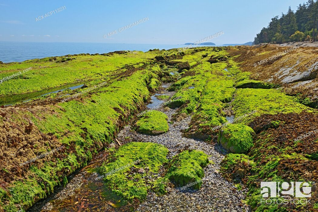 Imagen: Seaweed covering rocks at low tide. Strait of Georgia. Gulf Islands, Saturna Island, British Columbia, Canada.