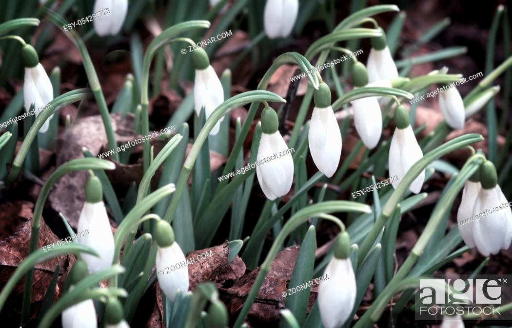 Stock Photo: White flowers and buds of snowdrops among a green grass.