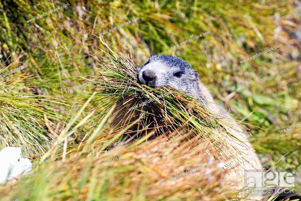 Stock Photo: Alpine marmot.
