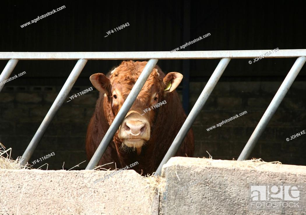 Stock Photo: A Hereford Bull with a ring in it's nose in a pen.