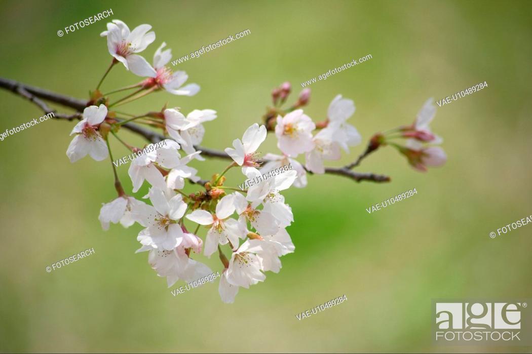 Imagen: Cherry blossoms.