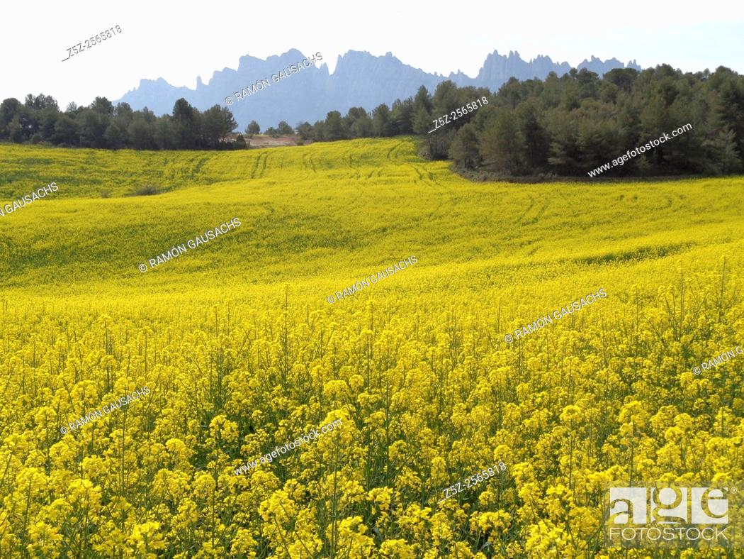 Stock Photo: Rapeseed plantation (Brassica napus). Catalonia, Spain.