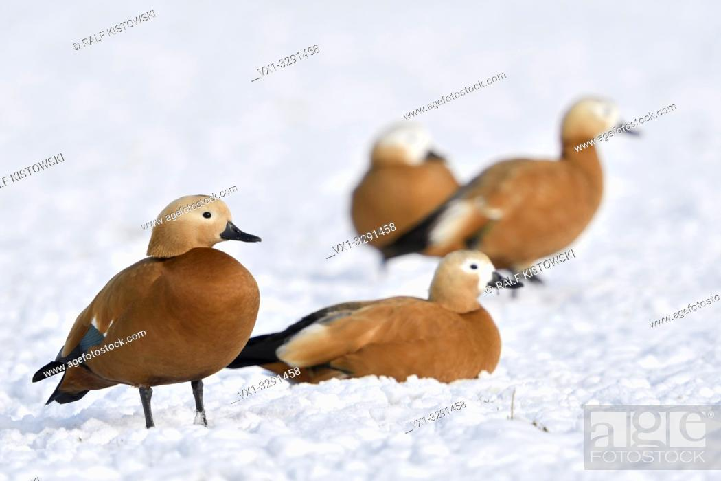 Stock Photo: Ruddy Shelducks / Rostgänse ( Tadorne casarca ), little flock, resting in snow, on snow covered farmland, overwintering, invasive spezies in Europe, wildlife.