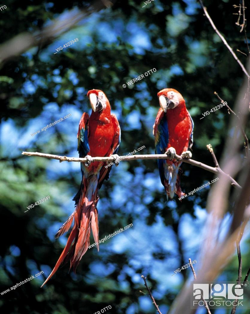 online retailer b55ca 06aad DEUTSCHLAND, GELSENKIRCHEN, Ara, zwei Aras im Zoo, Arakanga ...