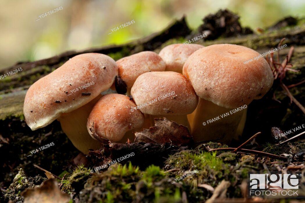 Stock Photo: Nematoloma Capnoides cluster. Herperduin, Herpen, The Netherlands.