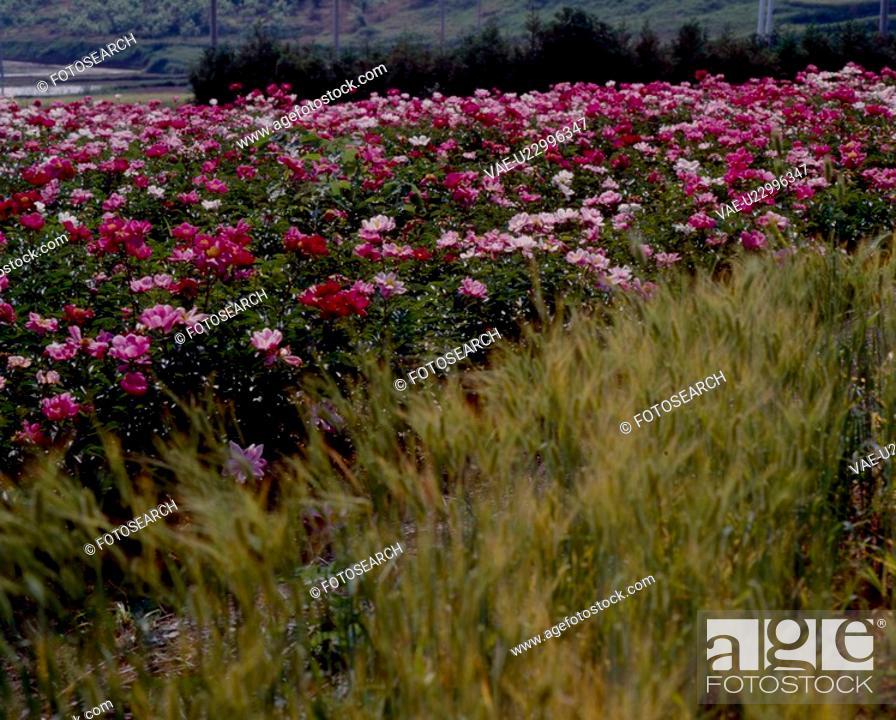 Stock Photo: flower bed, nature, flowers, flower, scene, field, landscape.