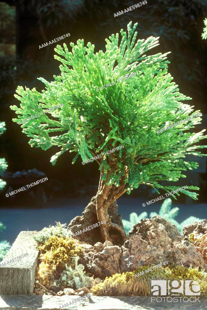 Bonsai Tree Witch S Broom Of Ca Incense Cedar Calocedrus Decurrens Seattle Stock Photo Picture And Rights Managed Image Pic Aam Aaes98749 Agefotostock