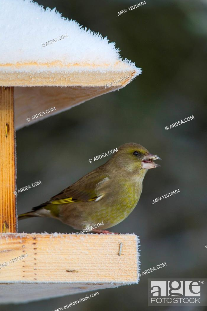 Stock Photo: Greenfinch - females at a feeding station in winter - Germany.