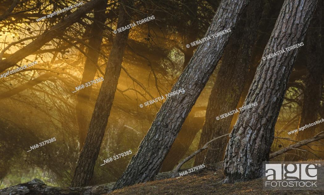Stock Photo: Pines in the forest of Es Comu, S'Albufera, Muro, Majorca, Spain.