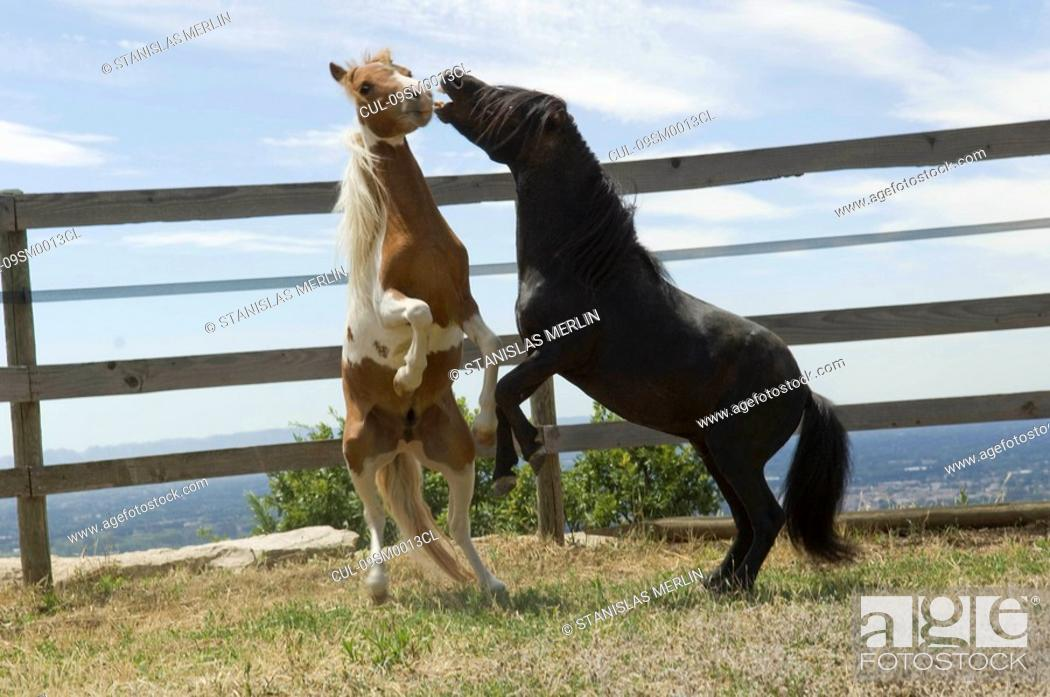 Stock Photo: Two miniature horses frolicking.
