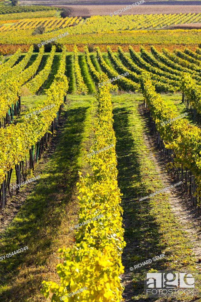 Stock Photo: autumn vineyard near Langenlois, Lower Austria, Austria.