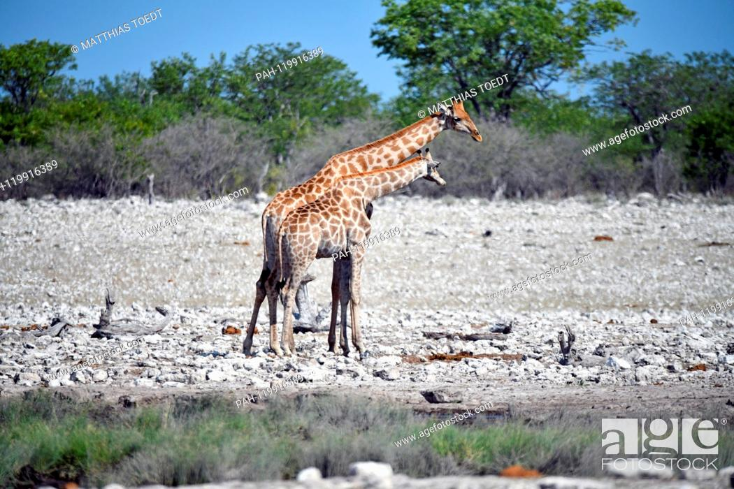 Stock Photo: Giraffe cow with a half-grown calf at a waterhole in the Etosha National Park, taken on 05.03.2019. The Giraffe (giraffa) belongs to the pairhorses and with a.