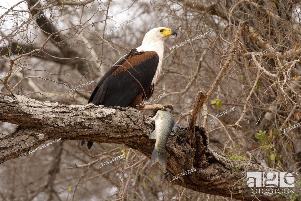 Imagen: African fish eagle, Haliaeetus vocifer, Kruger National Park, South Africa.