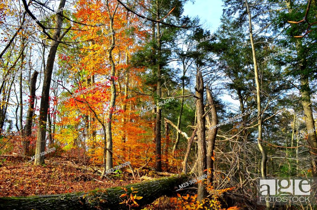 Stock Photo: A disorderly autumn scene in the forest, Pennsylvania, USA.