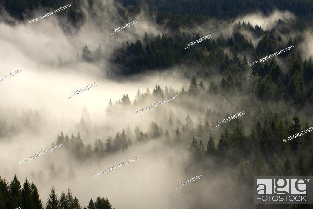 Stock Photo: Forest fog, Tillamook State Forest, Oregon.