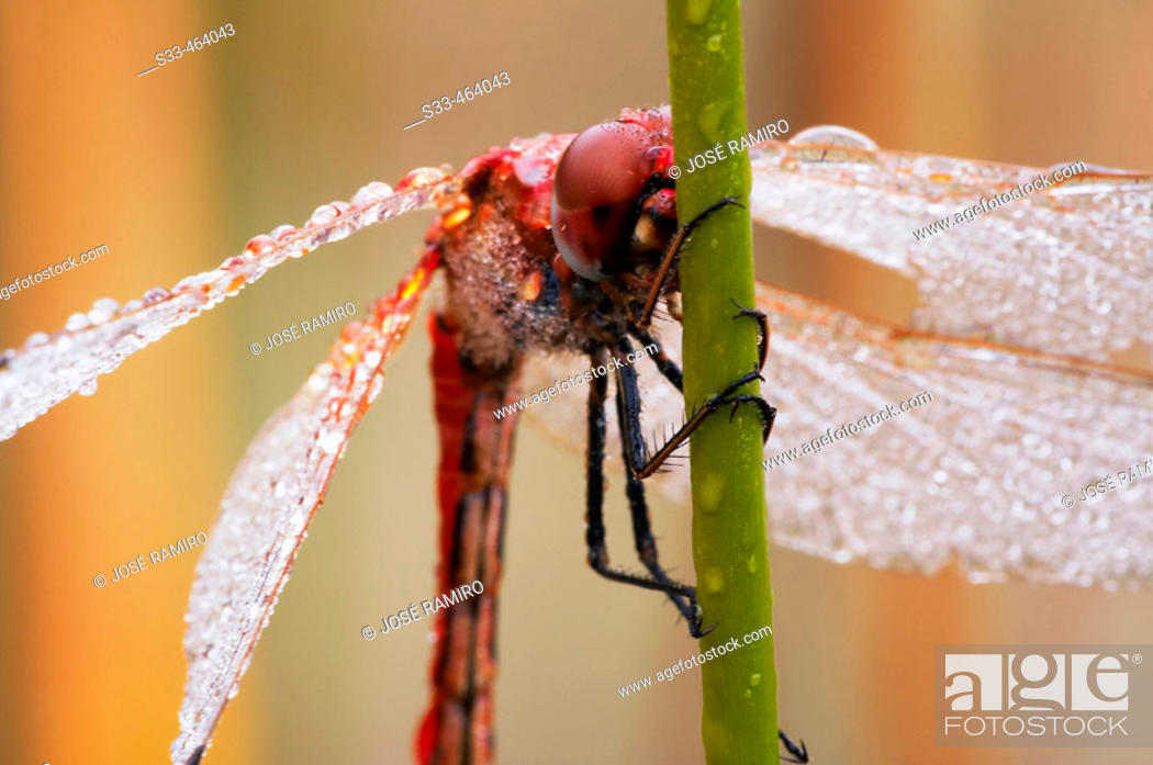 Stock Photo: Dragonfly with dew on wings, holding on reed.