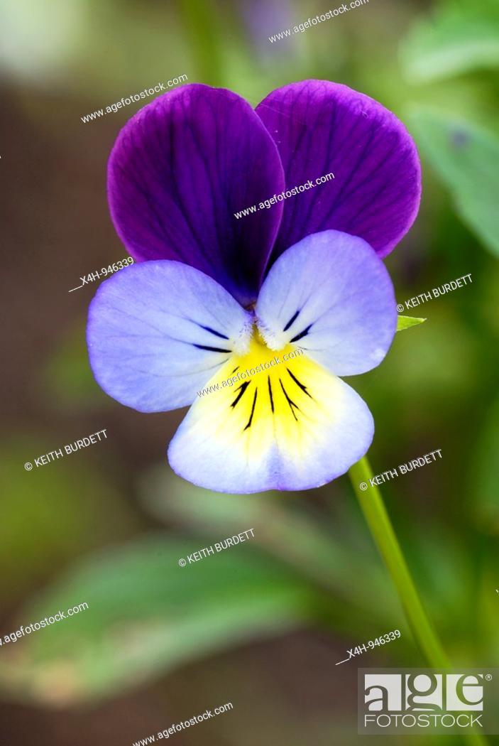 Stock Photo: Heartsease, Viola tricolor.