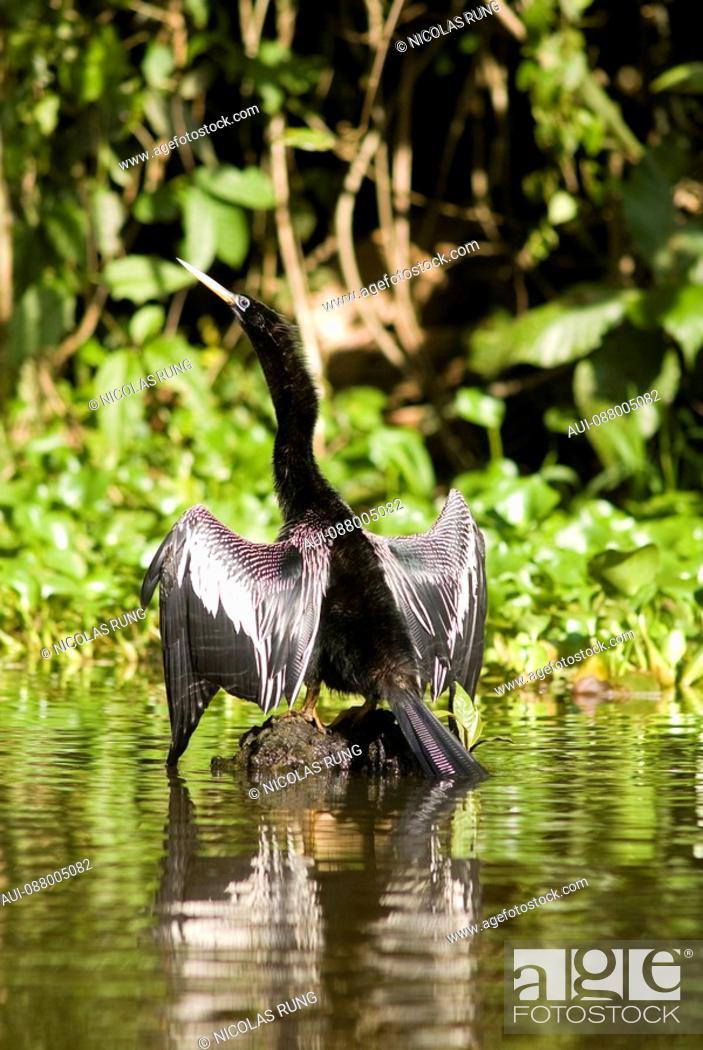 Stock Photo: An Anhinga bird - Tortuguero.