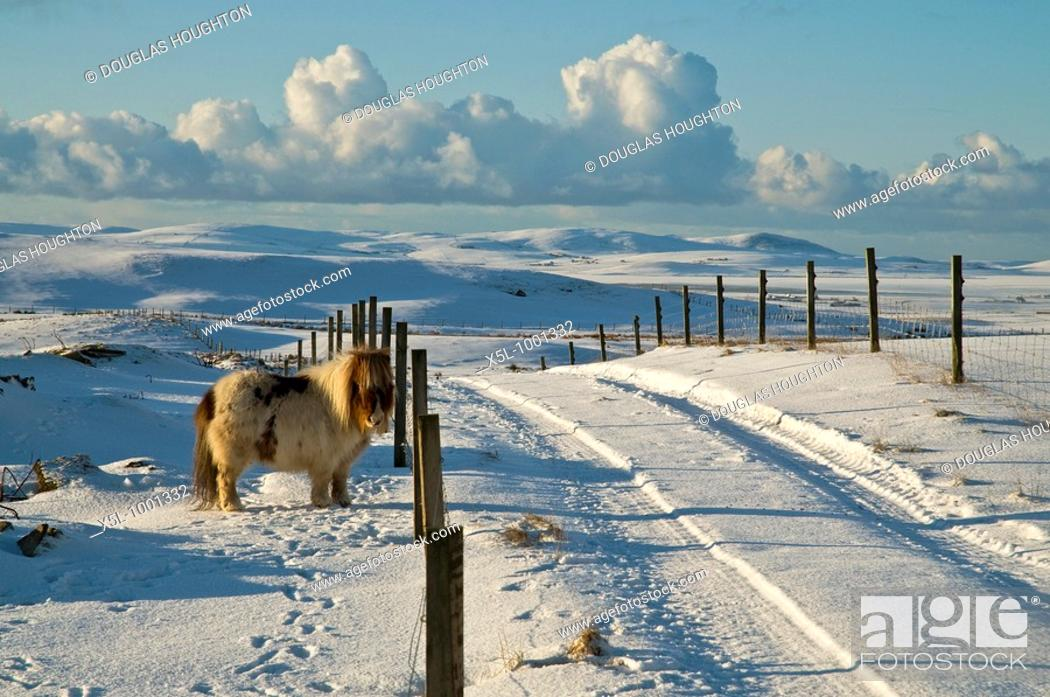 Stock Photo: Tuskerbister ORPHIR ORKNEY Shetland pony in snow covered field road and Stenness countryside.