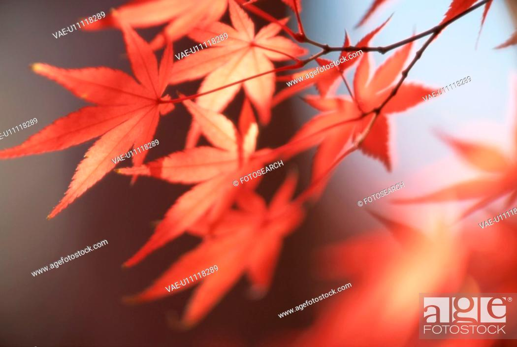 Stock Photo: Branch Of Red Maple Leaves.